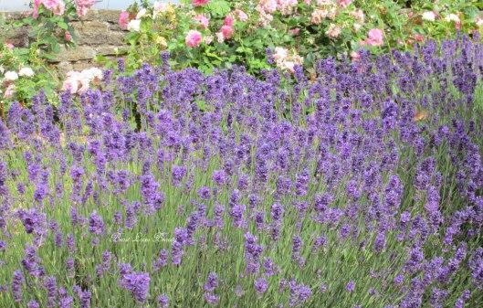 levandula lavender